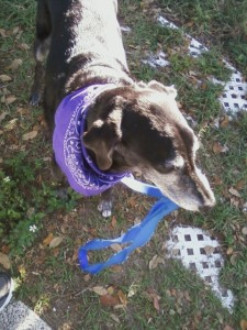 duke leash in mouth purple bandana 4-25-12